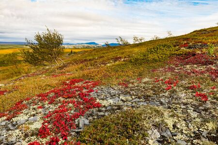 Autumn fall colors in arctic tundra with bright red Alpine Bearberry, Arctous alpina,  Richardson Mountains, Yukon Territory, Canada 写真素材 - 132019801