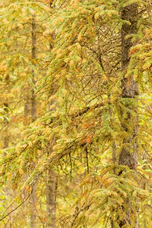 Spruce Labrador Tea Rust, Chrysomyxa sp., fungal disease growing yellow orange spores on current year's white spruce, Picea glauca, needles 写真素材 - 132019705