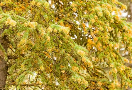 Spruce Labrador Tea Rust, Chrysomyxa sp., fungal disease growing yellow orange spores on current year's white spruce, Picea glauca, needles 写真素材 - 132019216