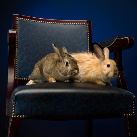 piebald: piebald rabbit on the leather chair