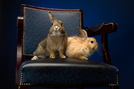 piebald: harinosos conejo en la silla de cuero