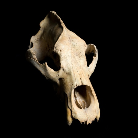 skull biology: Real animal bear scull. Photo with black background Stock Photo