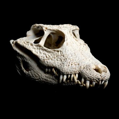 Real animal crocodile skull. Photo with black background photo