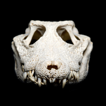 Real animal crocodile scull. Photo with black background photo