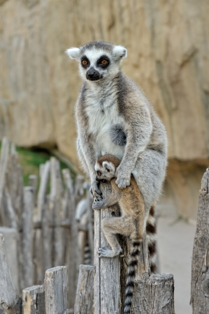 Madagascars ring-tailed lemur  with the small baby on a back. Outdoors shooting. photo