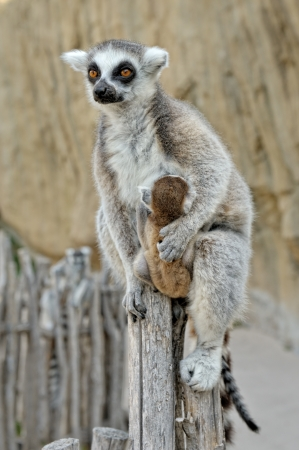 Madagascar's ring-tailed lemur  with the small baby on a back. Outdoors shooting. photo