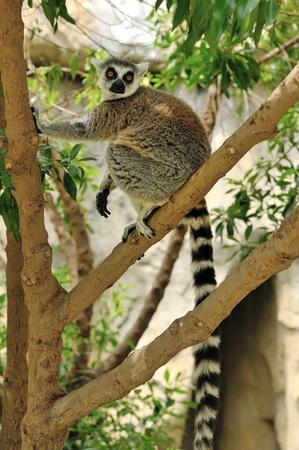 Madagascars Ring-tailed lemur sitting on the tree. Valencia biopark. photo