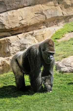 black giant mountain: Big male gorilla in Valencia Bioparc
