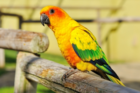 parrot tail: Tropical yellow parrot with green wings, sitting on a wood stick.