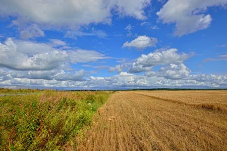 grain fields: Summer Landscape with  grain field in Russia. Sunny day