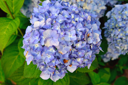 nature of sunlight: Blue Hydrangea blooming in the nature. Sunlight