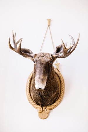 great hunting trophy on the wall white background Stock Photo