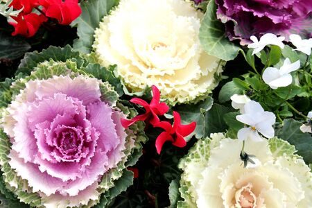 flowering kale: ornamental cabbage Stock Photo