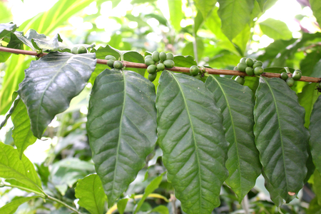 coffee tree: Arabica coffee tree Stock Photo