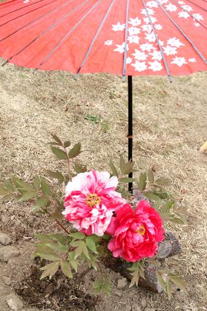 Japanese peony flower 免版税图像