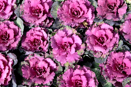 flowering kale: ornamental cabbage Stock Photo