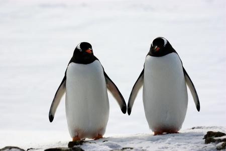 gentoo: due pinguini camminano fianco a fianco, sullo sfondo della neve