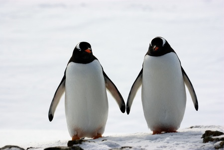 two penguins walk side by side, against the backdrop of the snow