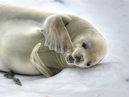 Crabeater Seal loosing the fur at antarctica