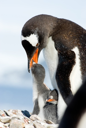 Penguin Mother and her two Children in Antarctica photo