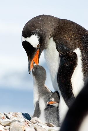 penguin colony: Penguin Mother and her two Children in Antarctica