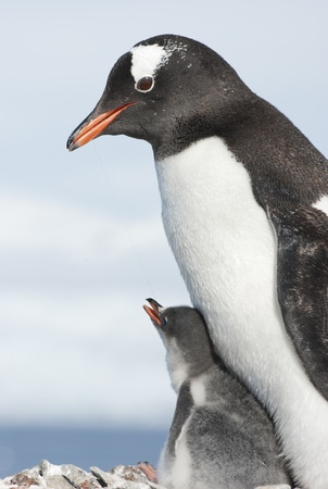 Gentoo penguin adult and its chick in a nest