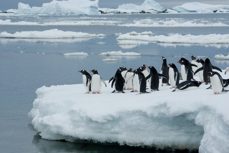 Gentoo penguin band is on the ice against the backdrop of icebergs photo