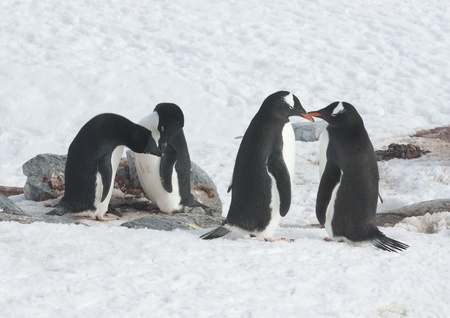 Two Adelie penguins and two gentoo penguin colony at the site of the future.