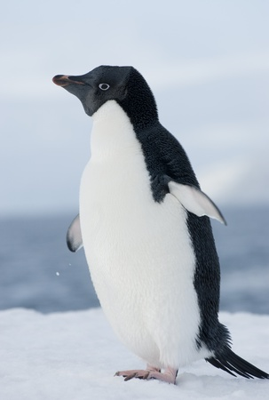 Adelie penguin in the snow against the blue sky. photo