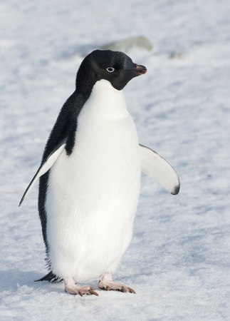 Adelie penguin standing on the snow.