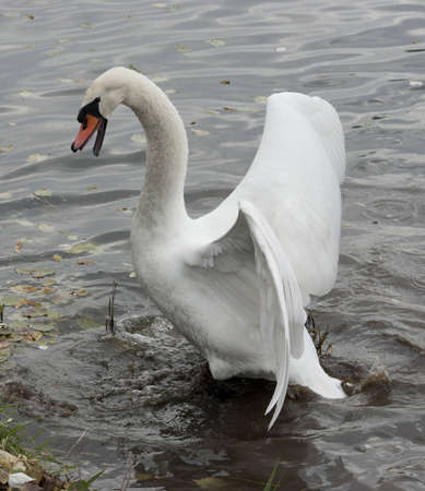 Mute Swan attacking the enemy. Stock Photo - 12429534
