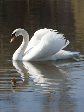 mute swan: White handsome - Mute Swan on the pond.