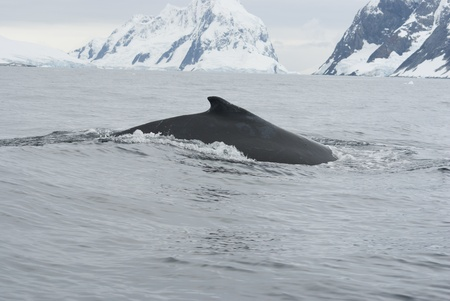 A humpback whale in the Southern Ocean, on the background of the islands Stock Photo