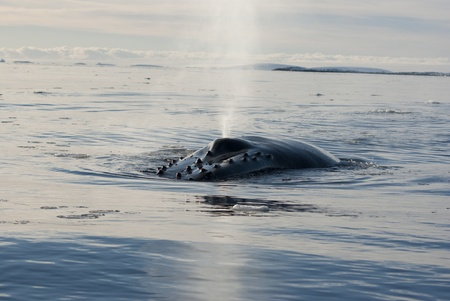 minke: A humpback whale in the Southern Ocean, on the background of the islands Stock Photo