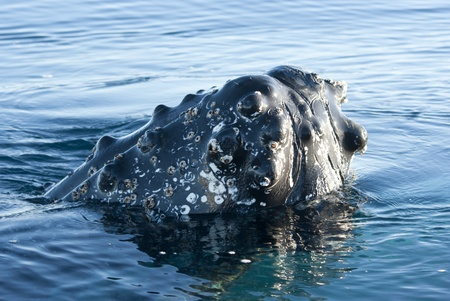 minke: Humpback whales head peering out of the waters of the Southern Ocean
