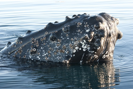 Humpback whale's head peering out of the waters of the southern ocean