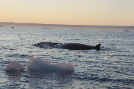 minke: The minke whale in the Southern Ocean against the backdrop of ice