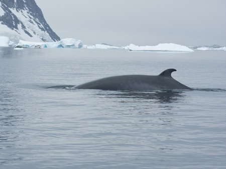 minke: The minke whale in the Southern Ocean on the background of ice Stock Photo