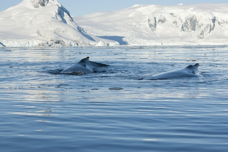 minke: Two humpback whale floating on the background of the Antarctic Peninsula. Stock Photo