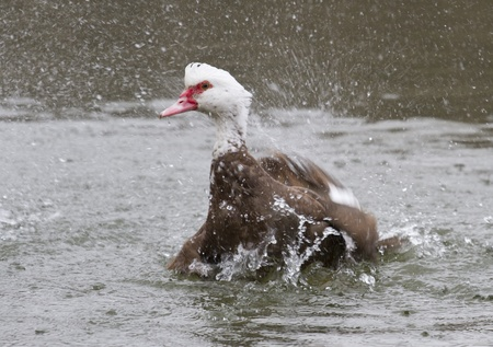 muscovy duck: Muscovy duck (Carina moschata), awash in water-1.