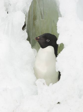 Portrait of Adelie penguin looking out the window of the snow.