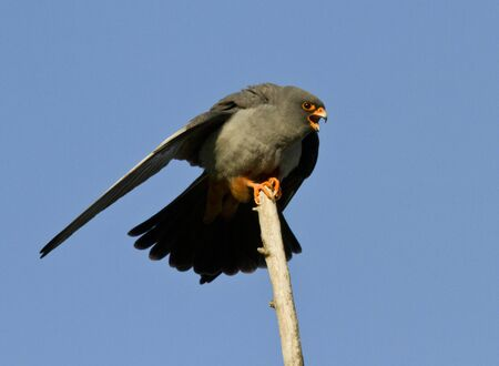 A male Red-footed falcon who is sitting on a tree. photo