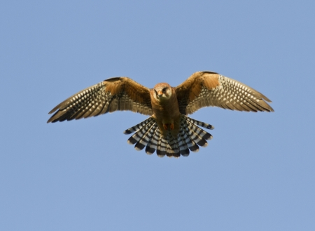 The female Red-footed falcon in flight. Stock Photo