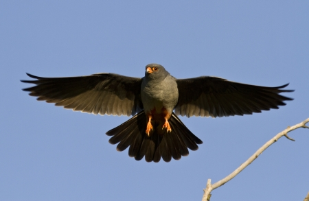 The male Red-footed falcon in flight.