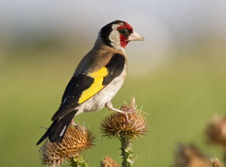 European goldfinch  Carduelis carduelis  sitting on a branch at sunset thistle