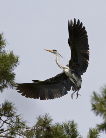 Grey heron comes in to land on a pine tree Stock fotó