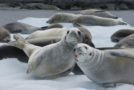 Herd crabeater seals on the ice of Antarctica  Imagens