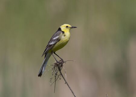 Male Citrine Wagtail sitting on a branch in a meadow. photo