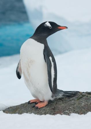 Gentoo penguin (Pygoscelis papua) on the background of the iceberg.