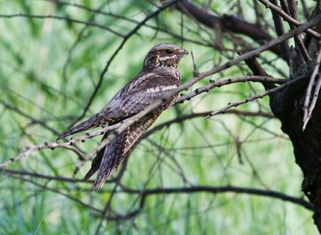 Nightjar(Caprimulgus europaeus) sitting on a tree in the afternoon.